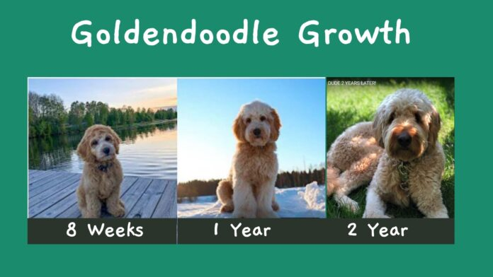 Goldendoodle growth